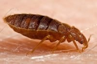 Bed Bug Control, Bed bugs