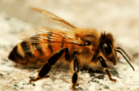 Bee Control Image, Bees Pest